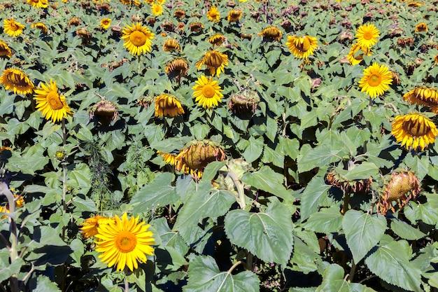 Zonnebloemlandbouw - helianthus - in brazilië
