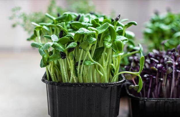 Zonnebloemspruiten kweken voor gezond eten en dieet verse microgreens close-up
