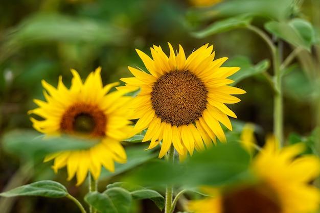 Zonnebloemveld in de zon, helder levendig bloemenlandschap in de zomer, prachtige zonnebloembloesems, veel planten met weelderige bladeren