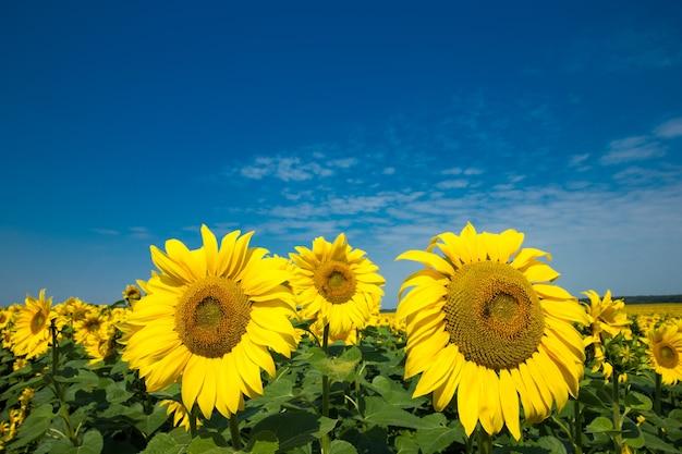 Zonnebloemveld met bewolkte blauwe lucht