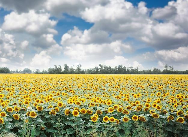 Zonnebloemveld met blauwe lucht