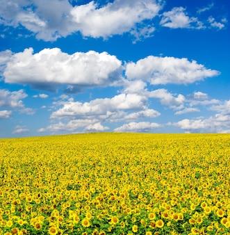 Zonnebloemveld over bewolkte blauwe hemel