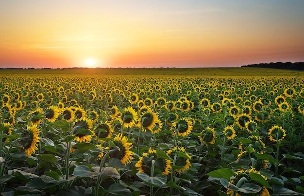 Zonnebloemvelden in warm avondlicht. digitale compositie van een zonsopgang boven een veld met goudgele zonnebloemen.