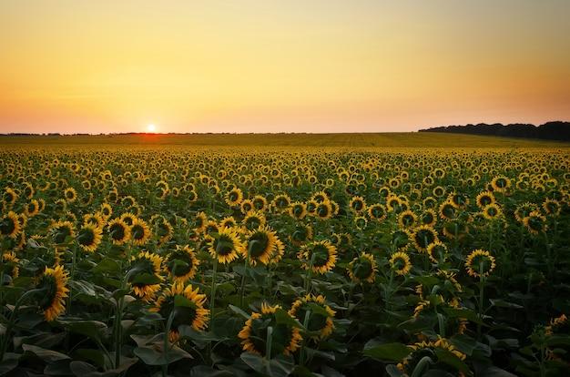 Zonnebloemvelden tijdens zonsondergang. digitale compositie van een zonsopgang boven een veld met goudgele zonnebloemen.