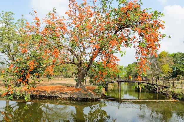 Zonneschijnboom of tijgerklauw in het park