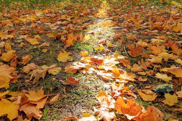 Zonnestraal op open plek bezaaid met gevallen gele esdoornbladeren