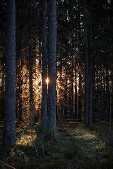 Zonnestralen verlichten het donkere bos met hoge bomen