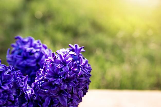Zonnig concept van lentetijd of zomertuinieren met heldere violetblauw-paarse hyacintbloemen op een oude houten tafel in de tuin met groen gras. onscherpe achtergrond
