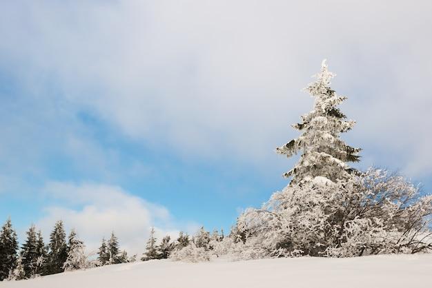 Zonnig winterlandschap van sneeuwbanken op de achtergrond van een slank naaldbos