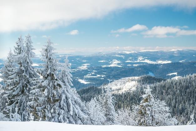 Zonnig winterlandschap van sneeuwlaag op de achtergrond van een slank naaldbos op een ijzige winterdag.
