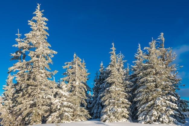 Zonnig winterlandschap van sneeuwlaag op de achtergrond van een slanke naaldboom