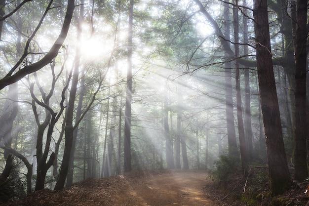 Zonnige balken in het bos bij zonsondergang