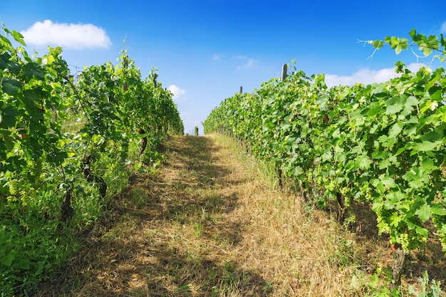 Zonnige dag bij wijngaard