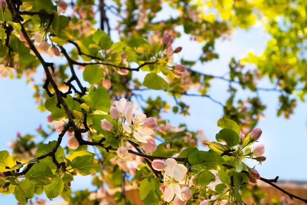 Zonnige lente groene bloeiende tuin. mooie roze witte appelboom bloesem takken. de lente bloeit blauwe achtergrond