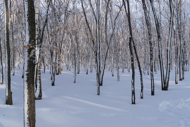 Zonnige winter forest day in park