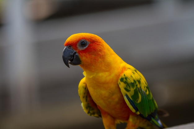 Zonparkiet of sun conure-papegaai, mooie gele en oranje papegaaivogel