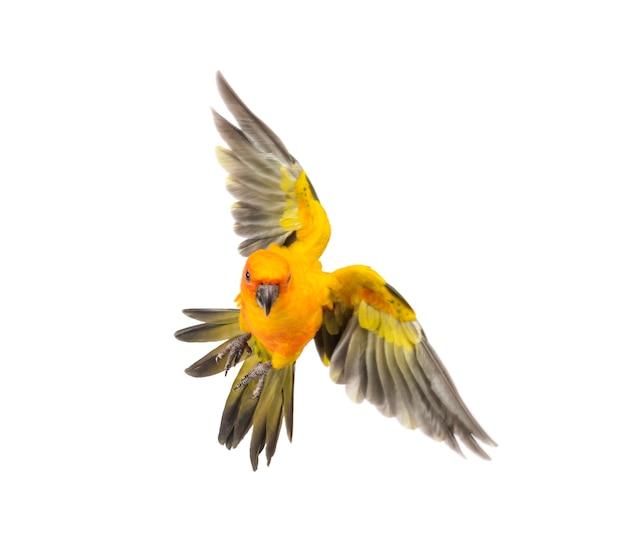 Zonparkiet, vogel, aratinga solstitialis, vliegen, geïsoleerd