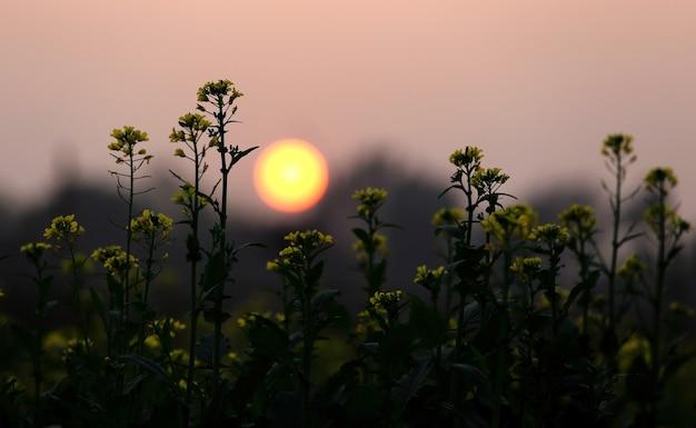 Zonsondergang achter een mosterdveld in bangladesh