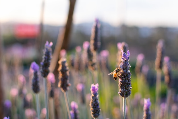 Zonsondergang boven een veld van violette lavendel en een bestuivende bij, heldere zonnige lavendel