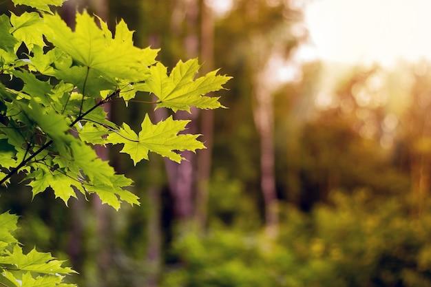 Zonsondergang in bos. esdoornbladeren op een onscherpe achtergrond. kopieer spase voor text_