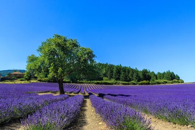 Zonsondergang in een prachtig lavendelveld met boom en bos op de achtergrond.