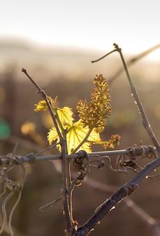 Zonsondergang in wijngaard met kleine druiven