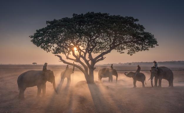 Zonsondergang mahout met olifanten in thailand