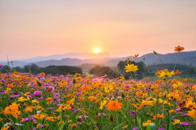 Zonsondergang over berg met kosmos het bloeien