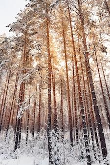 Zonsondergang van de gele zon in een dennenbos. winterseizoen, close-up