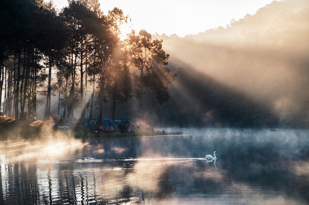 Zonsopgang op pijnboombos met mistige en witte zwaan in reservoir