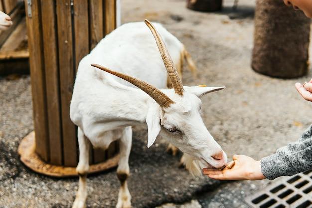 Zoogdier wildlife berggeit met hoorns ontspannen op de weg.