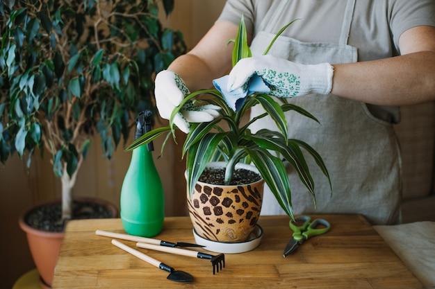 Zorg voor kamerplanten in de lente kamerplanten wakker maken voor de lente vrouwelijke handen spuiten en wast de bladeren
