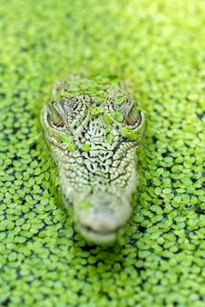Zoutwaterkrokodil in een vijver vol algen