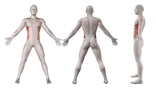 Zowel lendenen spieren
