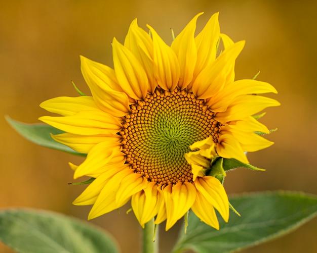 Оpen zonnebloem bloem.