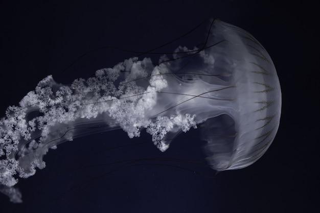 Zuid-amerikaanse brandnetel die in het diepe water zwemt