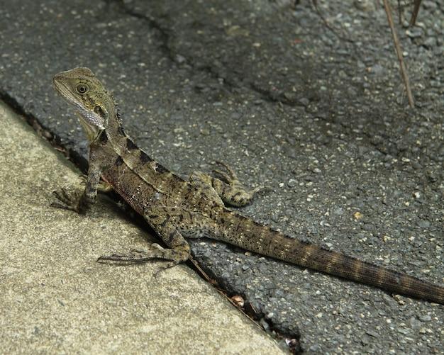 Zuidelijke alligatorhagedis die op het asfalt onder het zonlicht met een onscherpe achtergrond kruipt