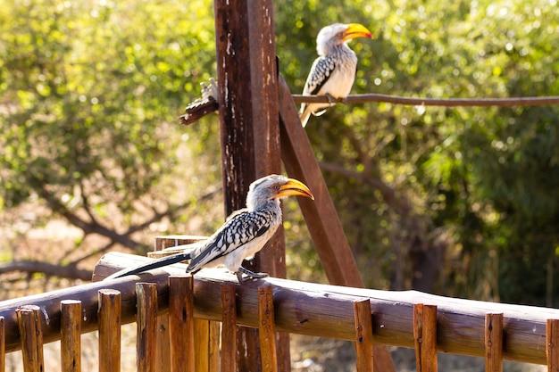 Zuidelijke geel-gefactureerde neushoornvogel close-up van pilanesberg national park, zuid-afrika. safari en dieren in het wild. vogels kijken. tockus leucomelas