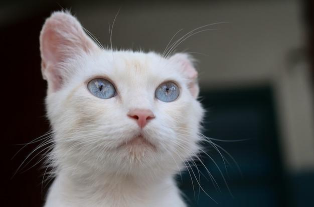 Zuiver witte kat met turkooisblauwe ogen en roze defecte oren