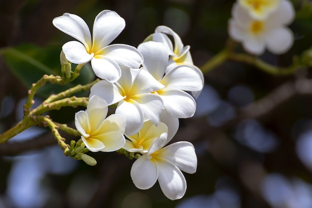 Zuiverheid van witte frangipanibloesem van tropische boombloem, plumeriabloem die op boom bloeien, kuuroordbloem