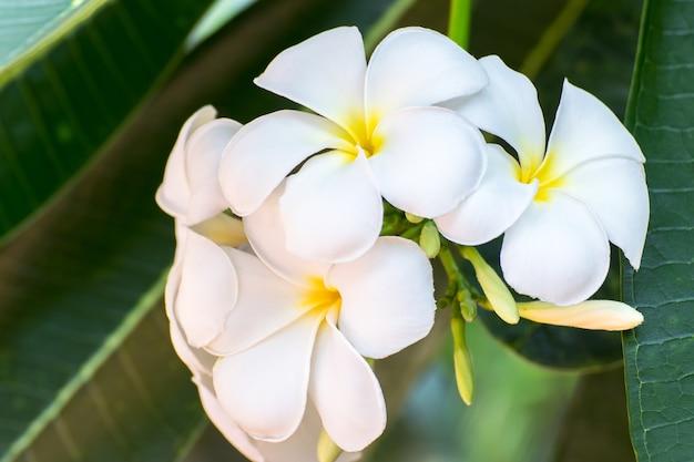 Zuiverheid van witte frangipanibloesem van tropische boombloem, plumeriabloem die op boom bloeit, kuuroordbloem