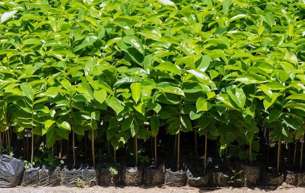 Zuurzak zaailingen annona muricata l ook wel graviola genoemd in de kwekerij