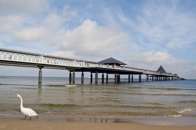 Zwaan aan de kust van de pier van heringsdorf op het eiland usedom