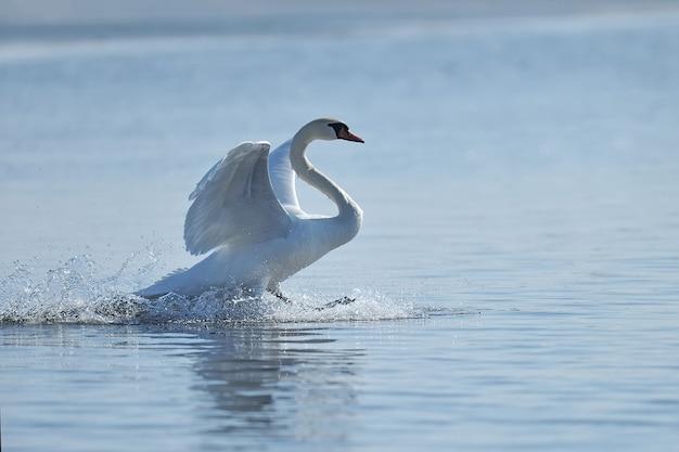 Zwaan die oprijst uit het water en opspattend water valt in het rond