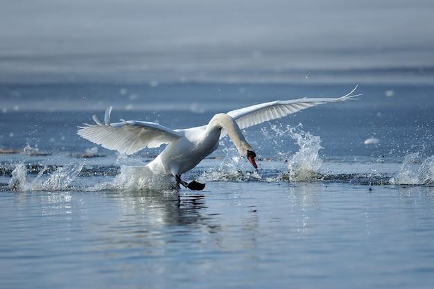 Zwaan die vlucht op het lenteblauwe meer