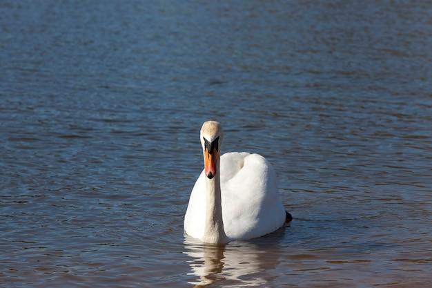 Zwaan in de lente, mooie watervogels zwaan op het meer in de lente, meer of rivier met een zwaan, close-up