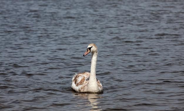 Zwaan in het voorjaar aan het meer