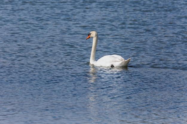 Zwaan in het voorjaar in het natuurreservaat aiguamolls de l'emporda, spanje.
