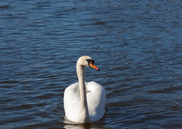 Zwaan in het voorjaar, mooie watervogels zwaan op het meer in het voorjaar, meer of rivier met een zwaan