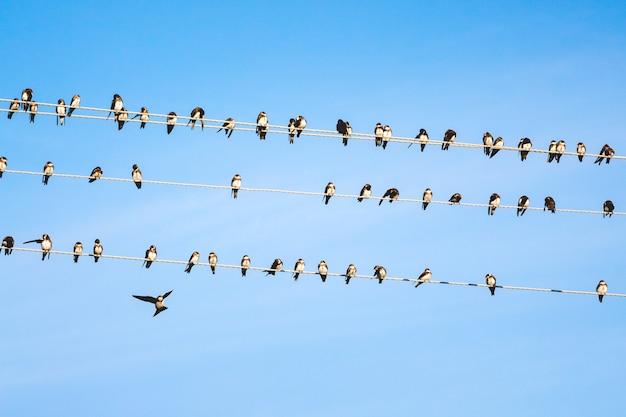 Zwaluwen zitten op elektrische draden